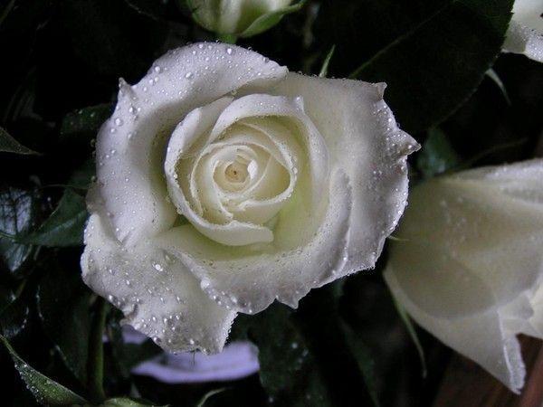 53) GOUTTES D'EAU POSES SUR UNE ROSE BLANCHE