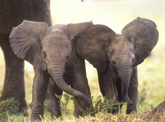 4)  BEBE ELEPHANTS