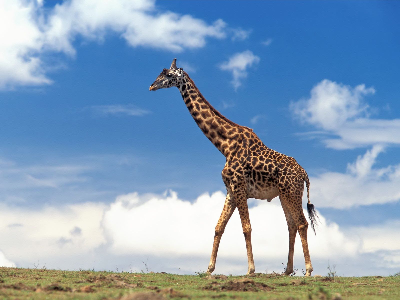 8 girafe - Girafe rigolote ...